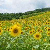 【喜多方で大人の夏休み♪】 250万本のひまわり畑の絶景満喫♪わくわく満開日帰りバスツアー花紀行コース