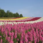 【ベストシーズン】 花々が彩り輝く富良野 旭山動物園 小樽・札幌3日間