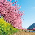 早春の鎌倉散策と伊豆の河津桜の旅