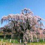 「三春滝ざくら」と桃源郷「花見山公園」