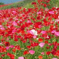 130万本のポピーが咲き誇る!国営みちのく杜の湖畔公園