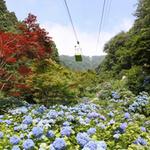 弥彦山1万株の遅咲きアジサイ