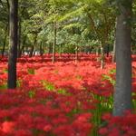 【秋の特選 日帰り】真紅の絨毯・日高巾着田と川越散策