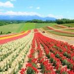 初夏の花々が彩り輝く美瑛、富良野と旭山動物園、小樽の旅