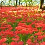 真紅の絨毯・日高巾着田と川越散策